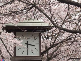 自然,風景,春,桜,綺麗,時計,満開,美しい,お花見,風物詩,王子,飛鳥山公園