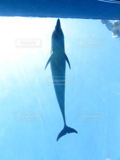 イルカの写真・画像素材[672002]