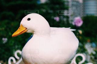 アヒルの前に大きな白い鳥立つの写真・画像素材[930576]