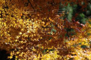 紅葉,黄色,もみじ,鳳来寺