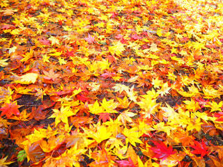 紅葉の絨毯の写真・画像素材[856409]