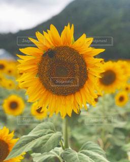 ひまわり,黄色,向日葵,ひまわり畑,ヒマワリ,幸せの黄色