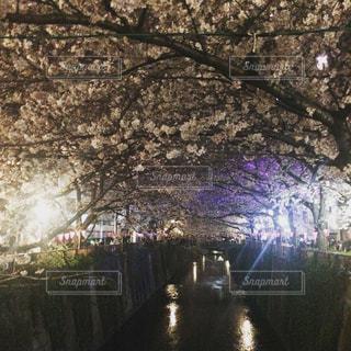 桜,目黒川,中目黒