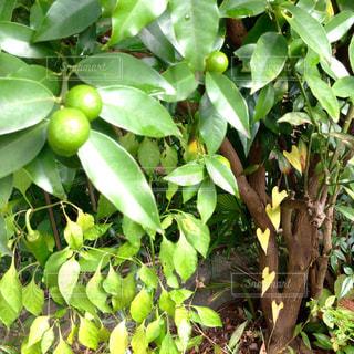 自然,庭,葉,ガーデニング,ハート,金柑,ハートの葉