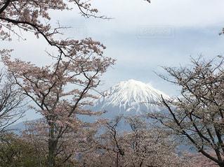 春,桜,富士山,富士,静岡