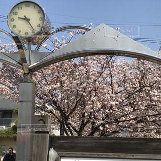 風景,公園,春,東京,時計,花見,満開,名所,さくら,葛飾,午前9時