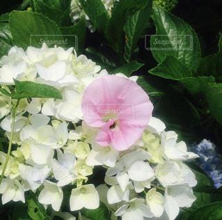 紫陽花の写真・画像素材[537536]