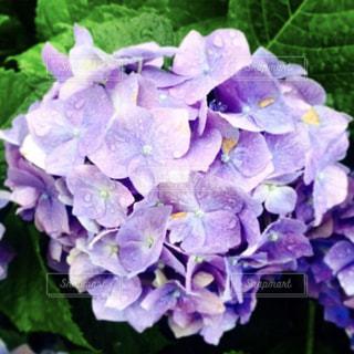 紫陽花の写真・画像素材[552462]