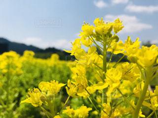 黄色の花の写真・画像素材[1151066]