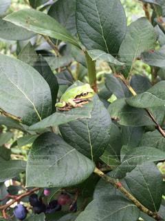 ブルーベリーの葉っぱの上にカエル発見!の写真・画像素材[1173063]