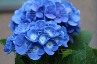 花,植物,あじさい,青い花,紫陽花,ブルー