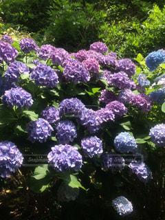 花,植物,あじさい,紫の花,紫陽花
