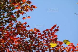 青空と紅葉の写真・画像素材[3719221]