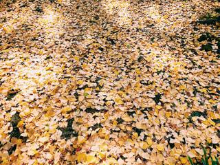 風景,秋,紅葉,黄色,イチョウ,銀杏,イエロー