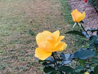 黄色の薔薇の写真・画像素材[3012839]
