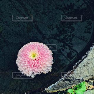ピンクの花の写真・画像素材[3012847]
