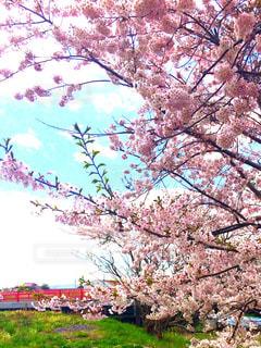 桜,ピンク,青空,花見,景色,鮮やか,インスタ映え