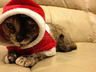 猫の写真・画像素材[530719]