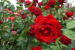 花の写真・画像素材[530722]