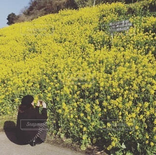 菜の花畑の写真・画像素材[4095264]