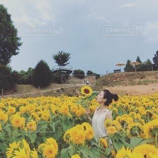 ひまわり畑の写真・画像素材[4095263]