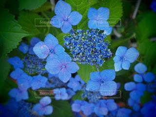 公園,紫陽花