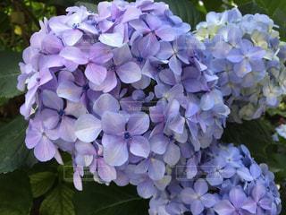 お花畑の写真・画像素材[542199]