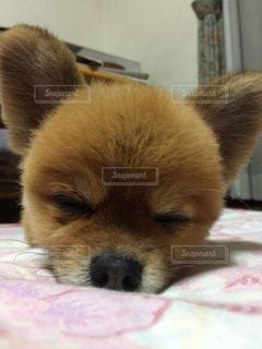 犬,ポメラニアン,かわいい,寝顔,お昼寝,おやすみ,スヤスヤ