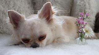 犬の写真・画像素材[491214]