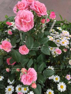 花,薔薇,寄せ植え,つかしん