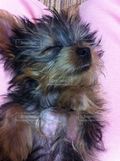 犬,動物,かわいい,寝顔,ヨークシャーテリア,ヨーキー