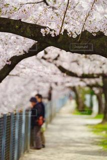 自然,アウトドア,公園,花,春,桜,屋外,花見,サクラ,お花見,さくら