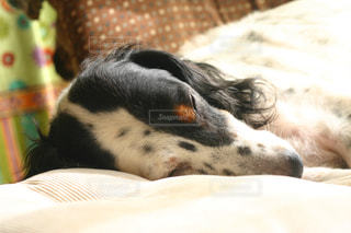 犬,寝顔,イングリッシュセッター