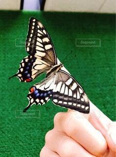 手持ち,蝶々,ポートレート,ライフスタイル,手元,アゲハ蝶,指さき