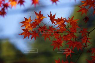 近くにオレンジの木のアップの写真・画像素材[865200]