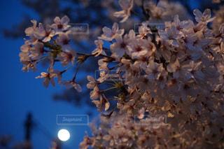 自然,風景,花,桜,屋外,景色,樹木,広島,尾道,遠近感,2018年3月