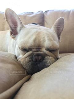 犬,フレンチブルドッグ,寝顔,dog,sleeping