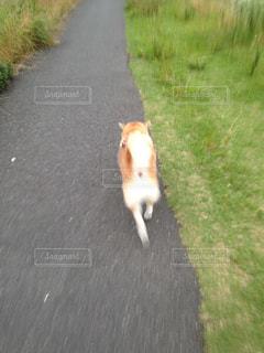 No.455982 柴犬