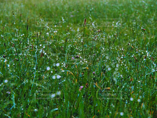 自然,花,芝生,雨,緑,植物,水,水滴,葉,水玉,雫,野草,グリーン,梅雨,玉ボケ,湿気,結露,滴,朝露,草むら,水分