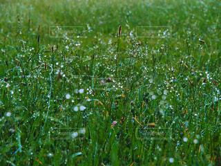 自然,花,芝生,雨,緑,水,水滴,葉,水玉,雫,野草,グリーン,梅雨,玉ボケ,湿気,結露,朝露,草むら,水分