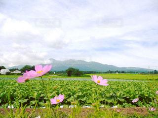 自然,花,コスモス,女の子,コスモス畑,八ヶ岳