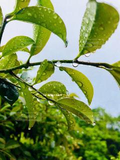 枝に緑の葉の写真・画像素材[2174495]