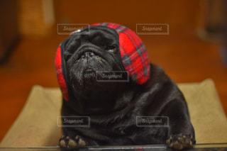テーブルの上に座っている犬の写真・画像素材[871370]