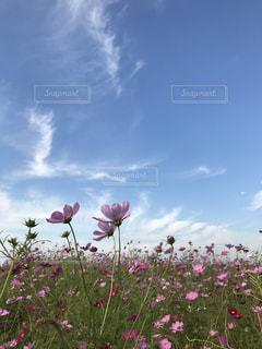 曇りの日にピンクの花のグループ - No.795371