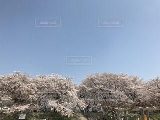 桜と青空 - No.1103578
