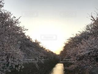桜と夕陽 - No.1123267
