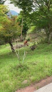 動物,森林,屋外,景色,草,樹木,馬,立つ,鹿,ジャングル,秩父,三峯神社