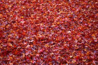赤い絨毯の写真・画像素材[896057]