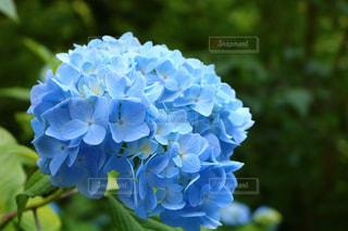 花,青,紫陽花,梅雨,明月院,明月院ブルー