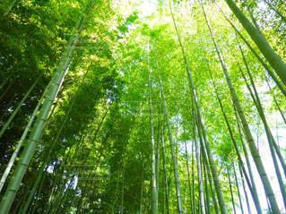 竹を見上げての写真・画像素材[1251223]